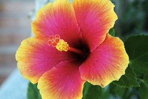 Hibiscus flower: a natural hair loss remedy?
