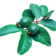 guava leaves hair loss