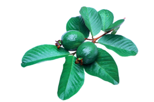 guava leaves hair loss